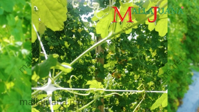 Bitter melon cultivation supported vertically with MALLAJUANA trellis net