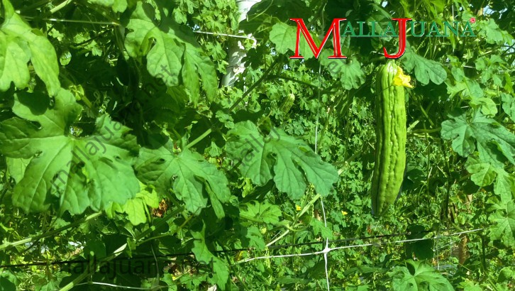 Bitter melon growing vertical on MALLAJUANA support system