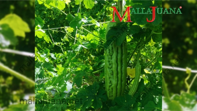 Bitter melon vertical cultivation with MALLAJUANA support system