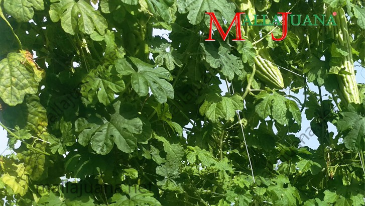 Vertical bitter melon cultivation with MALLAJUANA support system