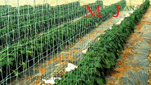 Bell pepper greenhouse cultivation with MALLAJUANA trellis support
