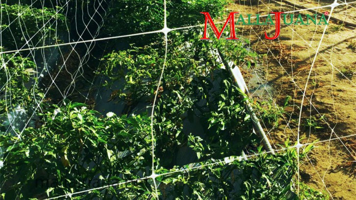 Habanero pepper cultivation with vertical support of MALLAJUANA trellis net