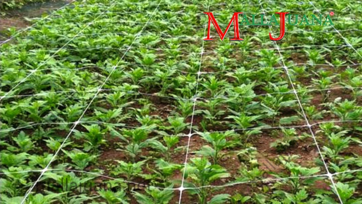 Carnations crop and MALLAJUANA support