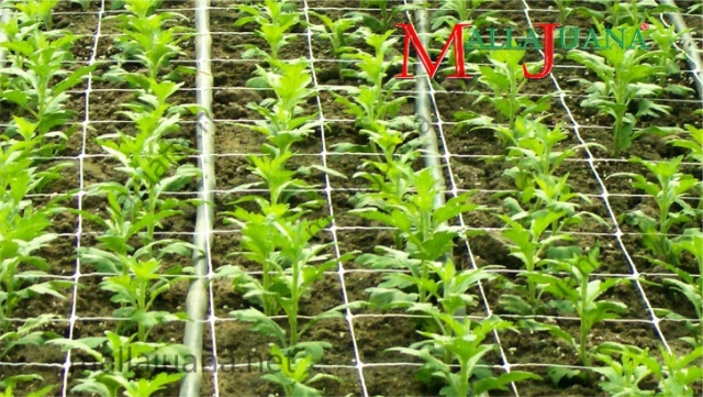 Carnations cultivation fertigation and MALLAJUANA