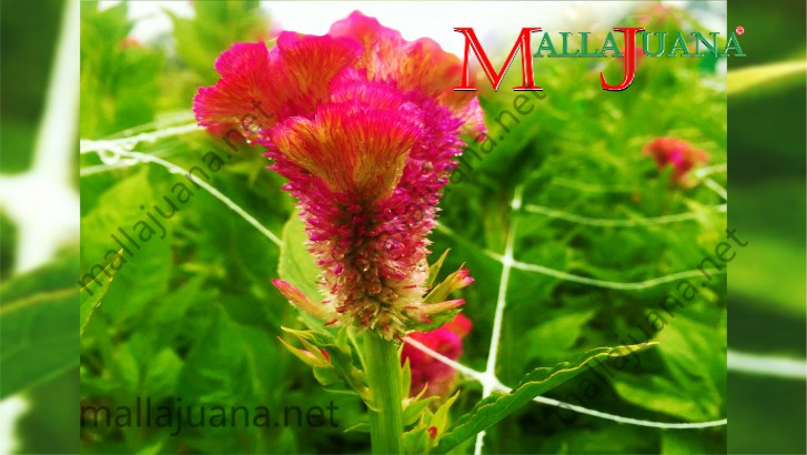 Cockscomb flower cultivation for ornamental's with MALLAJUANA stems support