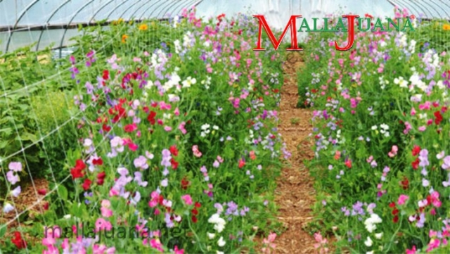 Flowers production for ornamental with MALLAJUANA support at high tunnel