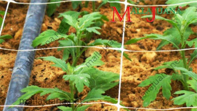Growing carnations shoots with fertigation and MALLAJUANA trellis support