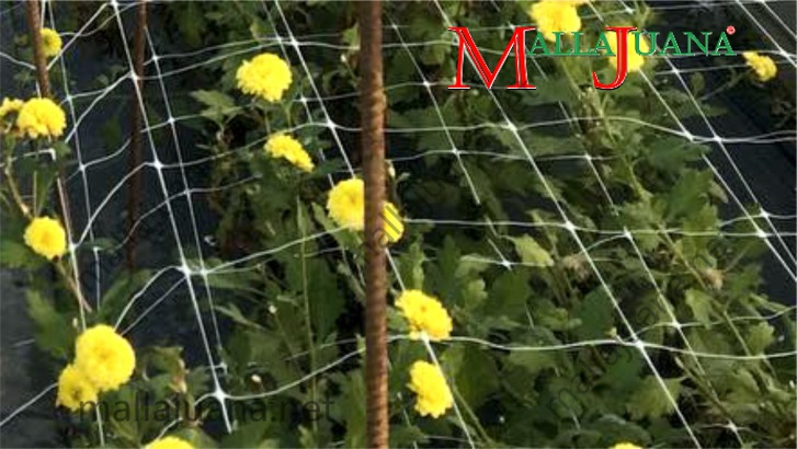 Ornamentals flowers production with groundcover and MALLAJUANA support