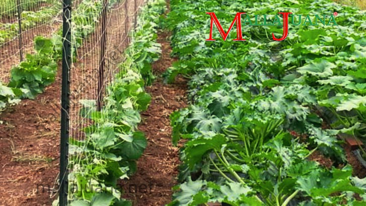 Cucumber and zucchini squash associated cultivation with MALLAJUANA support system for cucumbers