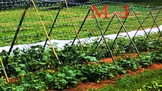 Cucumber plot with MALLAJUANA vertical support system