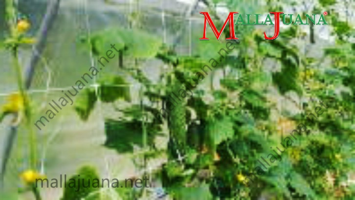 MALLAJUANA trellis net tutoring system at greenhouse cucumber cultivation