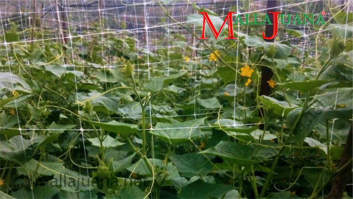 MALLAJUANA tutoring system, supporting cucumber cultivation for vertical grow