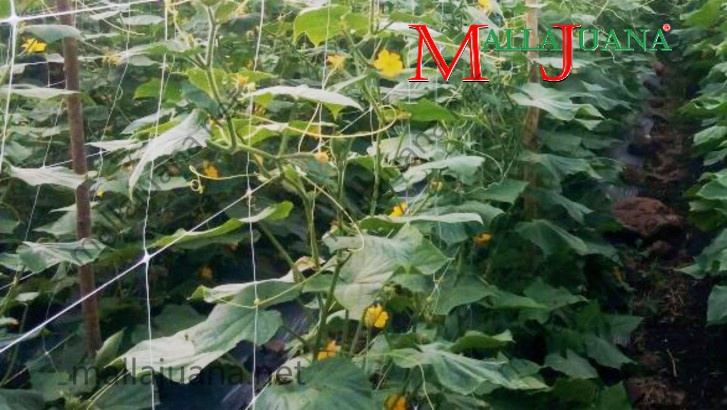 Open field cucumber cultivation, with MALLAJUANA tutoring system