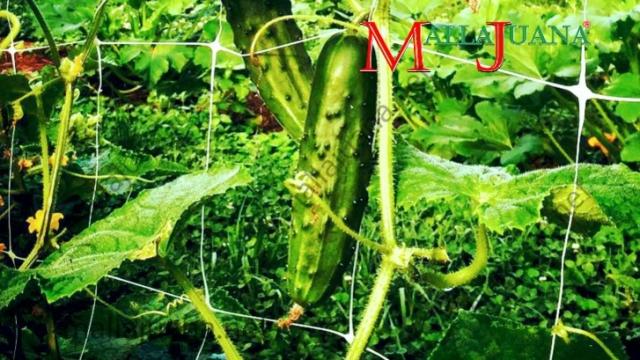Cucumber on MALLAJUANA trellis net