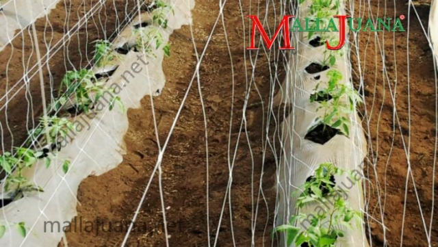 Cultivation of tomatoes with MALLAJUANA trellis net