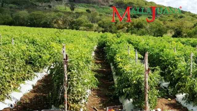Tomatoes cultivation in open field with MALLAJUANA trellis support