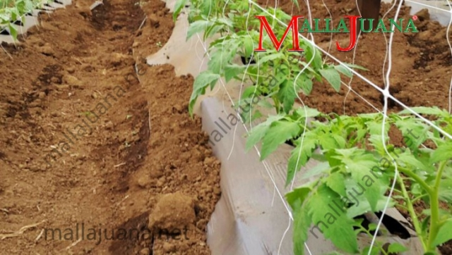Tomatoes cultivation with MALLAJUANA trellis support