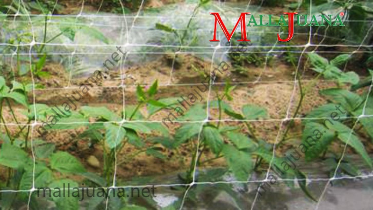 Vegetables cultivation with MALLAJUANA vertical support system