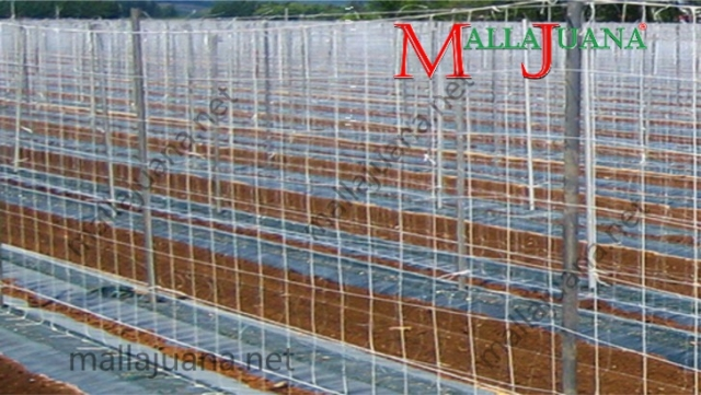 Vegetables cultivation with MALLAJUANA support system recently installed