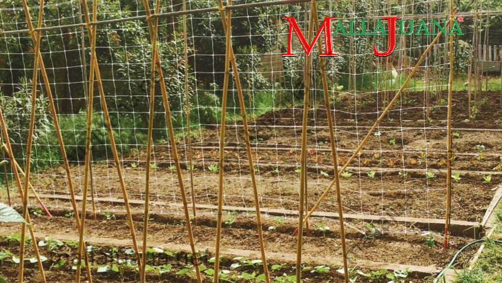 Vegetables cultivation with MALLAJUANA support system