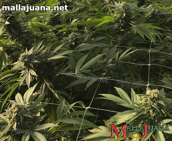mallajuana installed on cannabis crops for support them