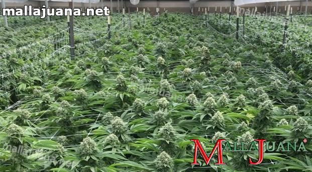 sog method on cannabis crops.