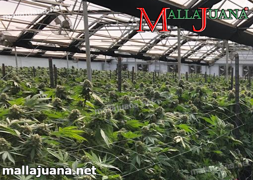 mallajuana providing support to the plants