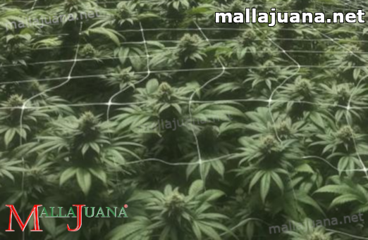 mallajuana used for support to the plants