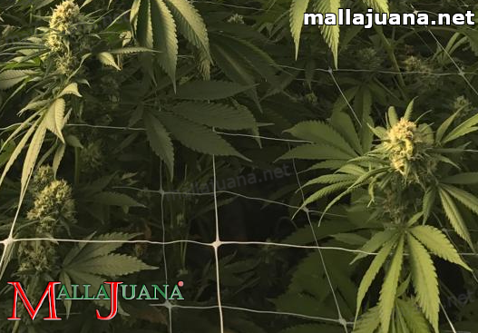 Mallajuana support netting on cannabis crops