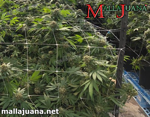mallajuana installed on cannabis crops