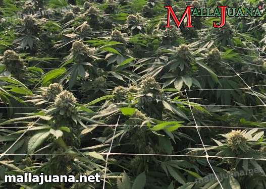 mallajuana support net used for cannabis crops