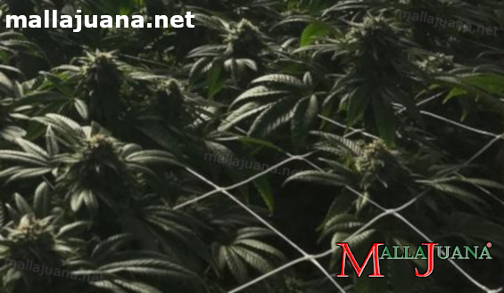 mallajuana used for scrog method on crops
